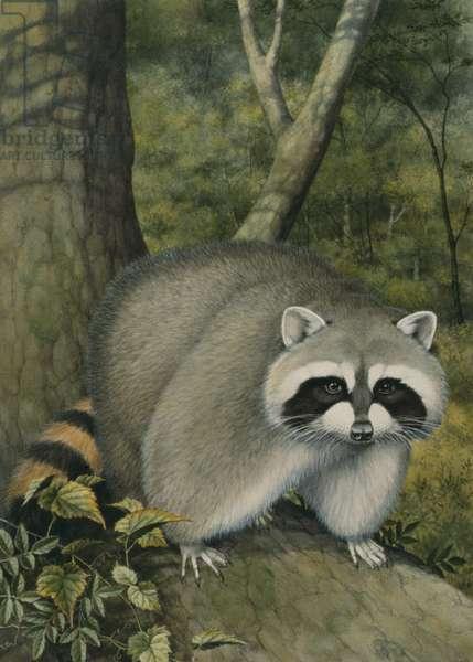 Raccoon (w/c on paper)