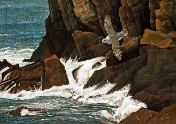 Fulmar, Cornish cliffs (pastel on paper)