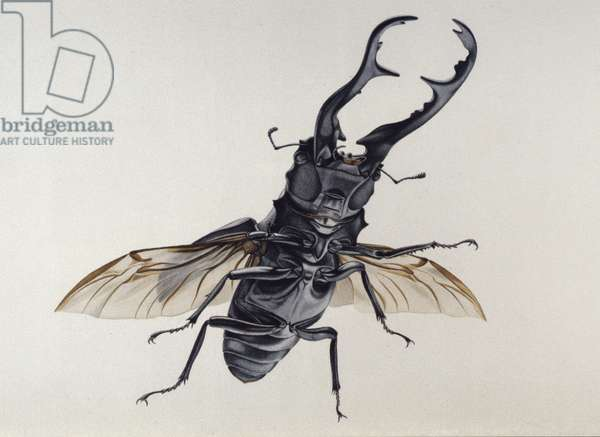 Stag Beetle (w/c on paper)