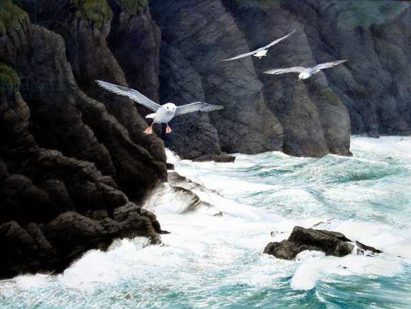 Fulmars, Cornwall (w/c on paper)