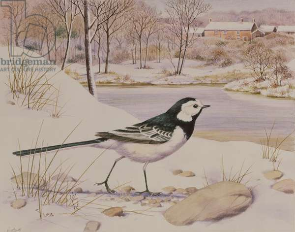 Pied Wagtail (w/c on paper)