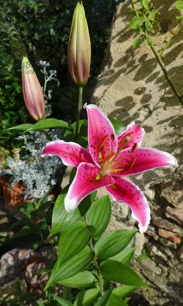 Pink lily: a large flower eclose and two other ready to bloom in a garden - Pink lily, flower in a garden - Photo Patrice Cartier -
