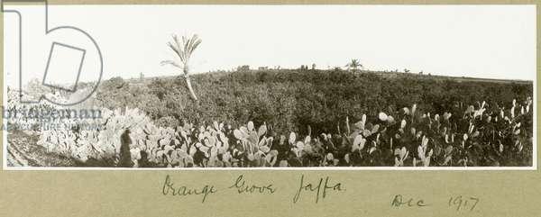 Orange Grove, Jaffa, December 1917 (b/w photo)