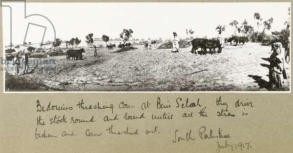 Bedouins threshing corn at Beni Saleh, July 1917 (b/w photo)