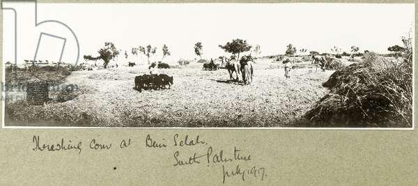Threshing corn at Beni Selah, July 1917 (b/w photo)