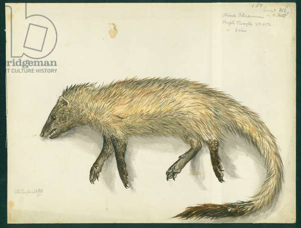 Mongoose, 1872 (w/c & pencil on paper)