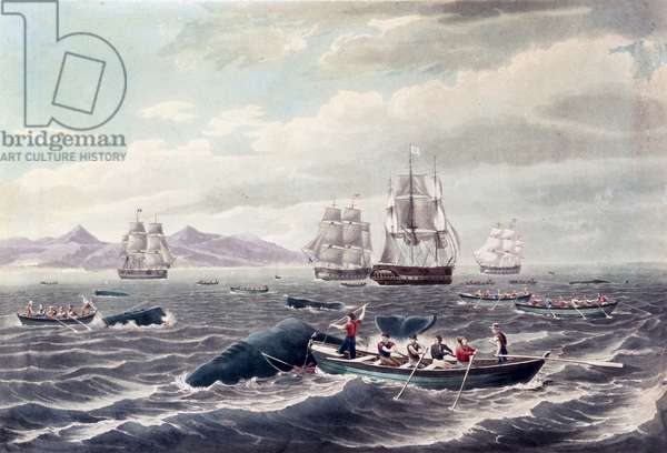 A Shoal of Sperm Whale, engraved by J. Hill, published 1838 (colour aquatint)