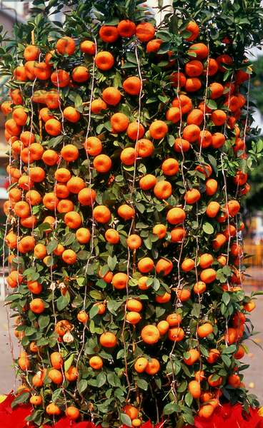 China: Chinese New Year kumquat tree at the entrance to Zhixin Park, Humen, Guangdong Province