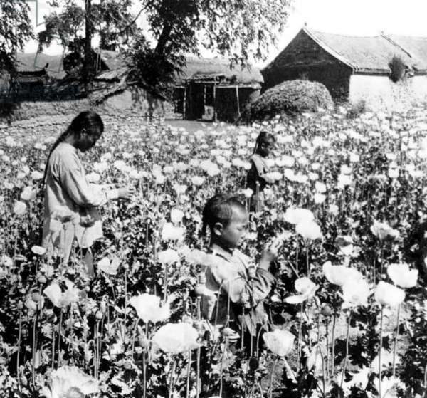 China: A poppy field in Yunnan with queue-wearing opium farmers, c. 1900