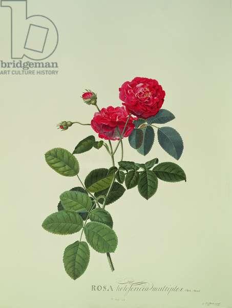 Rosa: Holoferica multiplex (Park Parade) (engraving)
