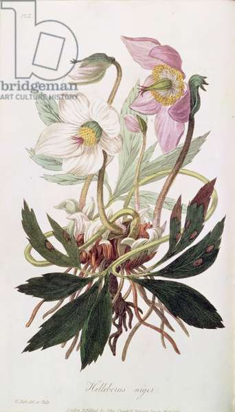 Christmas Rose: from 'Medical Botany', published by John Churchill, March 1827 (coloured engraving)