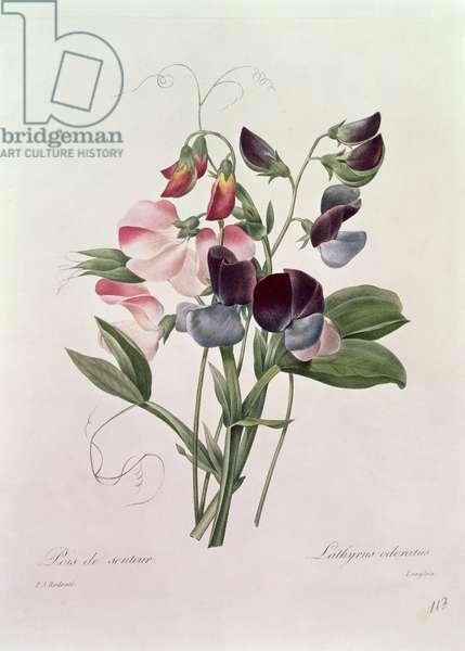 Sweet Peas (Lathyrus odoratur) engraved by Langlois, from 'Choix des Plus Belles Fleurs', 1827-33 (coloured engraving)