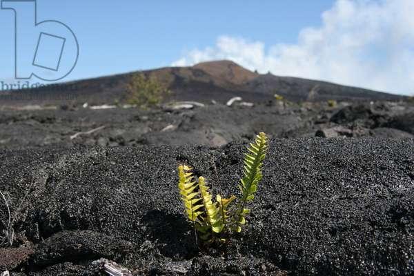 Vegetation on the volcano Kilauea -Hawaii - Vegetation on Kilauea volcano -Hawaii - Young fern on the volcano Kilauea a Hawaii. Young fern on Kilauea volcano