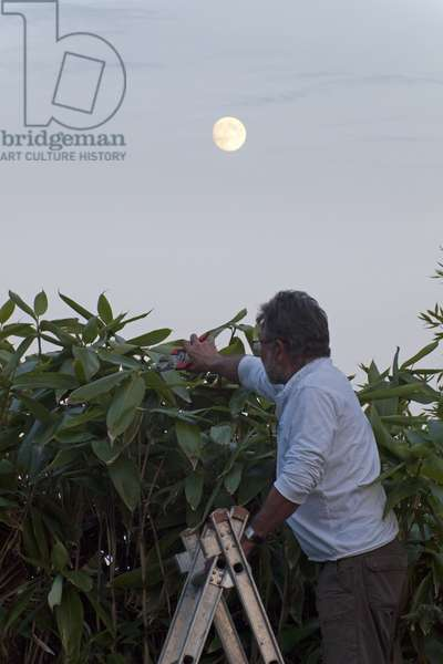 Gardening by the Moon - Gardening by the Moon - A gardener cuts a hedge using a secator with the Full Moon in the background