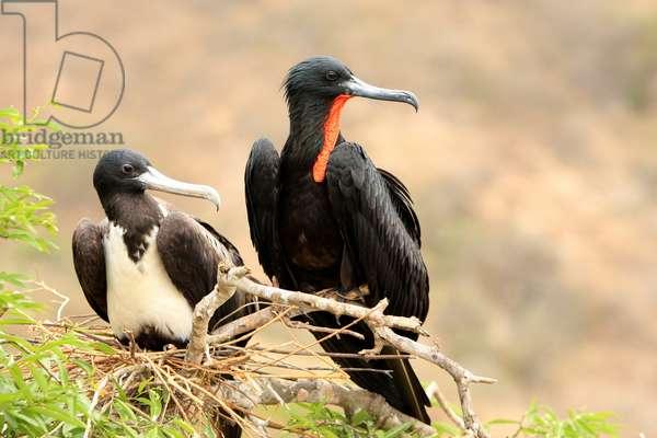 Superb fregate - Magnificent frigatebird - Couple of superb fregates (Fregata magnificens). Isla de la Plata, Ecuador. Male and female magnificent frigatebirds (Fregata magnificens). Isla de la Plata, Ecuador