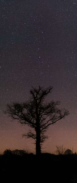 Constellation of the Great Bear - Constellation of Ursa Major - The Great Shariot, asterism of the constellation of the Great Bear above a tree. April 2008 The Big Dipper above a tree. April 2008