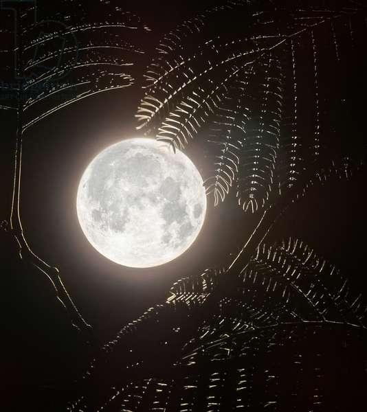 Full Moon and Mimosa (photo)