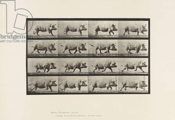 Plate 675. Sow; Trotting, 1885 (collotype on paper)