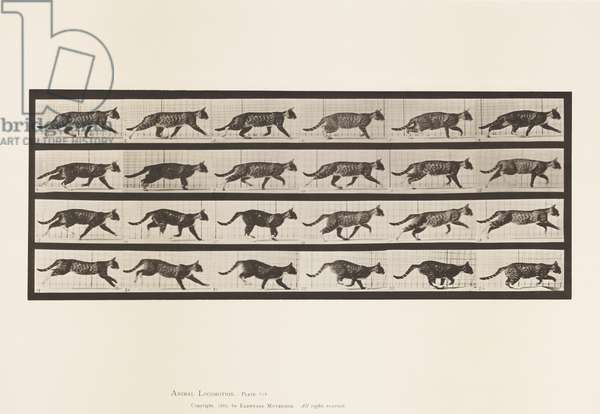 Plate 718. Cat; Trotting; Change to Galloping, 1885 (collotype on paper)