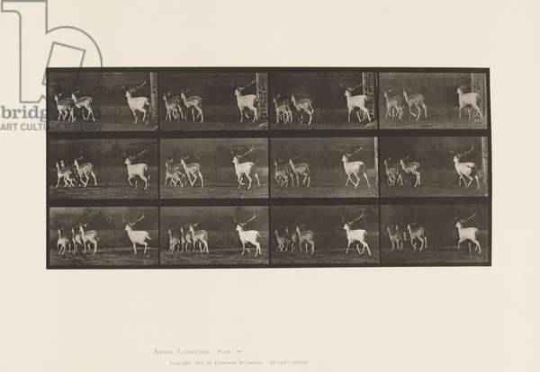 Plate 687. Fallow Deer; Buck and Group of Does; Galloping, 1885 (collotype on paper)