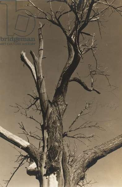 Dying Chestnut Tree (verso), 1934 (gelatin silver print)