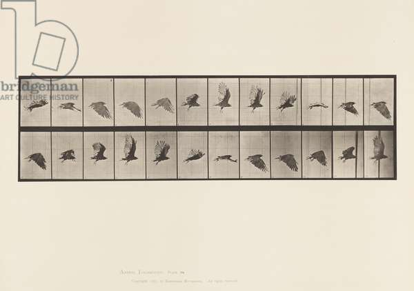 Plate 766. Vulture; Flying, 1885 (collotype on paper)