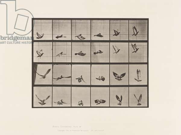 Plate 757. Pigeon; Flying, 1885 (collotype on paper)