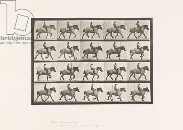 Plate 597. Trotting; Bareback; Dark Gray Belgian Horse Hansel, 1885 (collotype on paper)