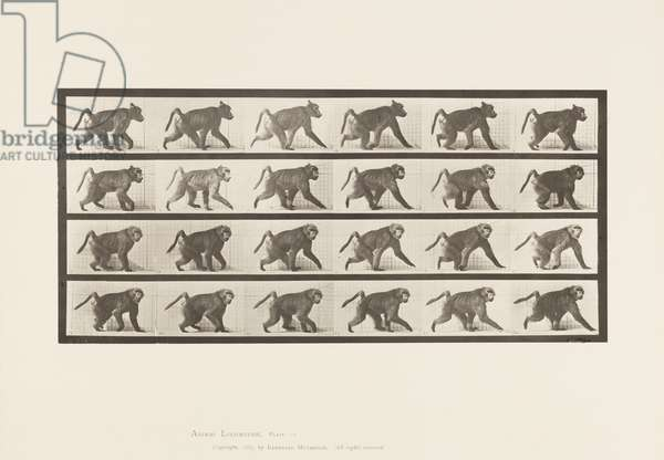 Plate 748. Baboon; Walking on All-Fours, 1885 (collotype on paper)