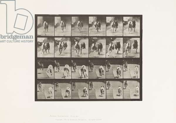 Plate 711. Dogs; Two Racing; A, B; Racing Hounds, Ike & Maggie, 1885 (collotype on paper)