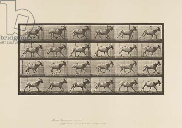 Plate 679. Goat; Galloping, 1885 (collotype on paper)