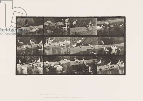 Plate 780. Storks; Swans, etc., 1885 (collotype on paper)