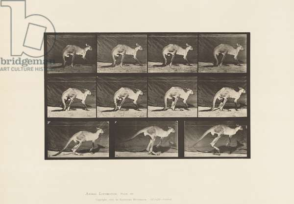 Plate 751. Kangaroo; Walking on All-Fours; Change to Jumping, 1885 (collotype on paper)