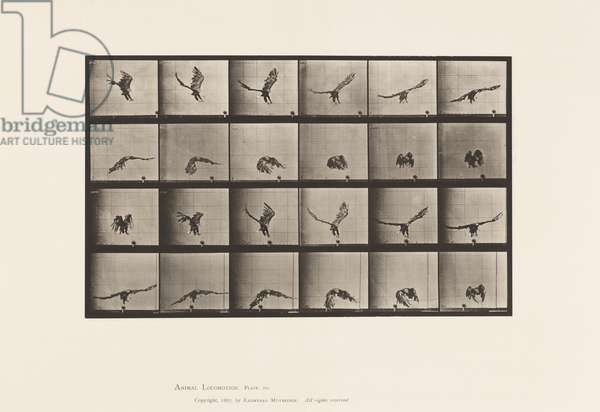 Plate 771. American Eagle; Flying Near the Ground, 1885 (collotype on paper)