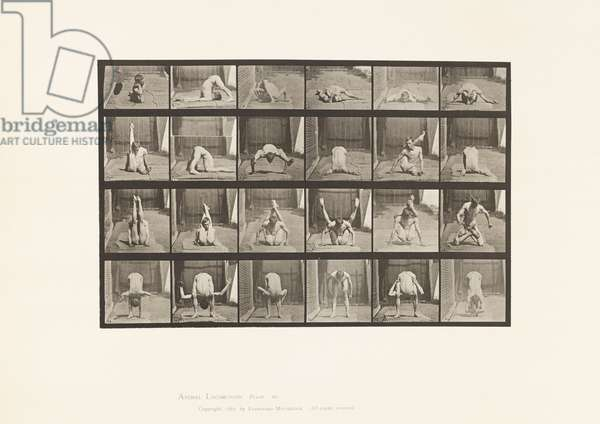 Plate 511. Contortions on the Ground, 1872-85 (collotype on paper)
