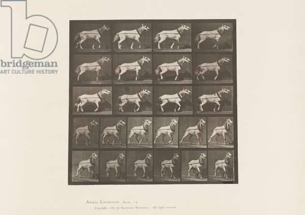 Plate 572. Hauling; Head being Pulled; Light Gray Mare, 1885 (collotype on paper)