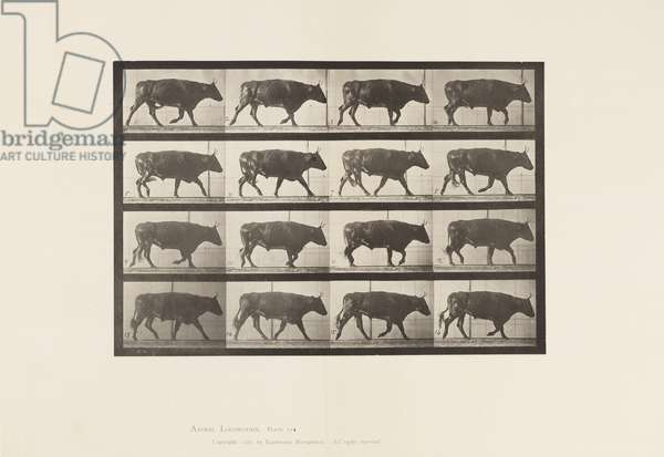 Plate 672. Ox; Trotting, 1885 (collotype on paper)