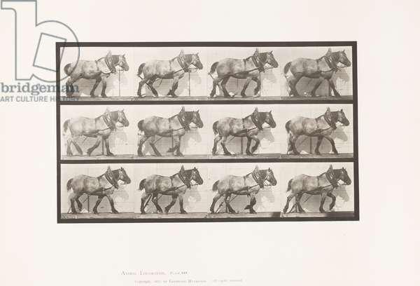 Plate 563. Hauling;Broken Log Chain; Dark-Gray Belgian Horse Dusel, 1885 (collotype on paper)