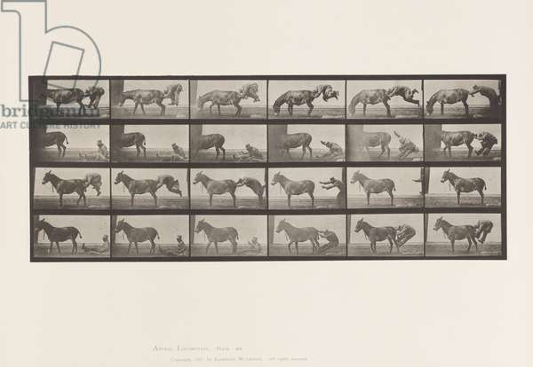 Plate 663. Mule; A, B, A Refractory Animal Denver, 1885 (collotype on paper)