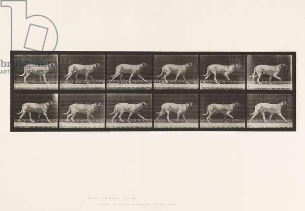 Plate 706. Dog; Trotting; Mastiff, 1885 (collotype on paper)
