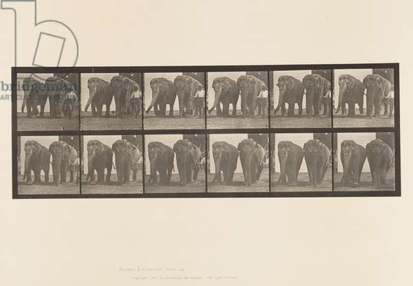 Plate 734. Elephants; Two, Walking, 1885 (collotype on paper)