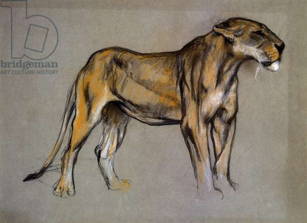 A Lioness, c.1900 (pastel on grey paper)