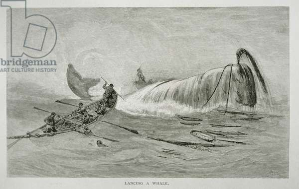 Lancing a Whale, for 'The Perils and Romance of Whaling' in Century Magazine, August 1890 (engraving)