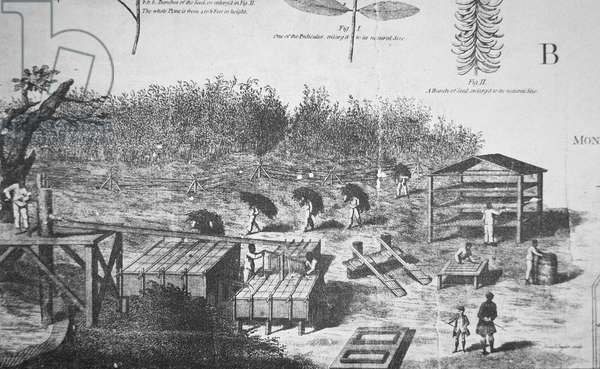 Manufacture of Indigo in South Carolina in 1770 (litho)