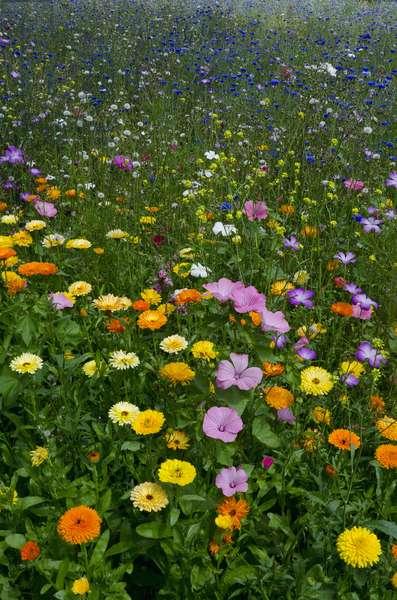 Ornamental Flower Meadow, Singleton Park, Swansea, S.Wales, UK (photo)