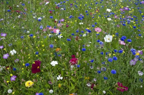 Ornamental flower meadow (predominantly blue cornflowers - Centaurea cyanus) Singleton Park, Swansea, South Wales, UK(photo)