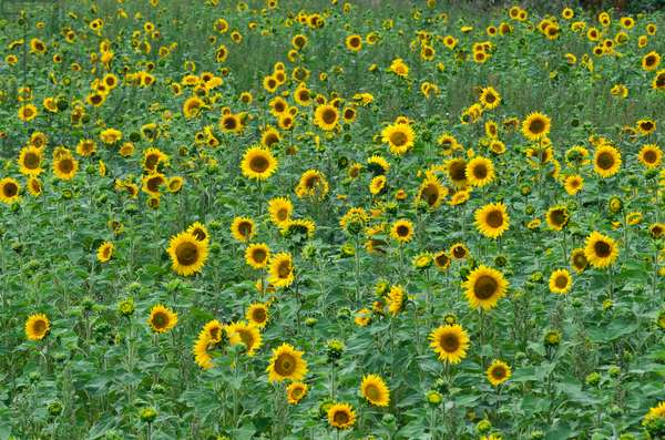 Field of sunflowers, Gower, South Wales (photo)