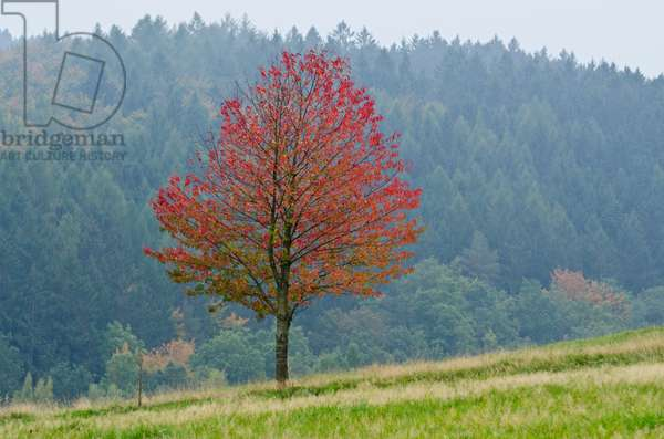 Autumn tree with red foliage in field on woodland edge, Naturepark Meissner-Kaufunger Forest, Hesse, Germany(photo)