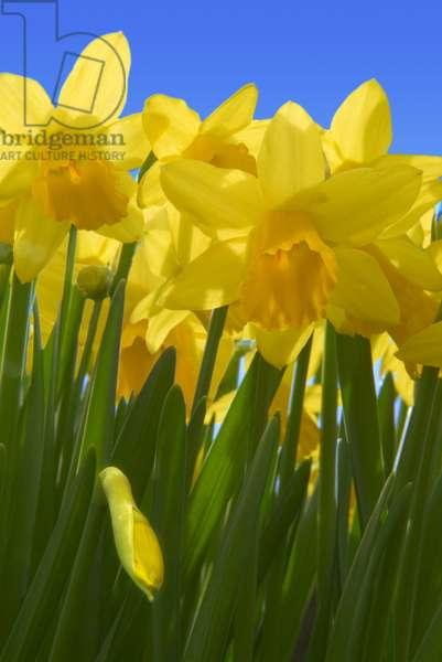 Dwarf daffodils, South Wales, United Kingdom (photo)