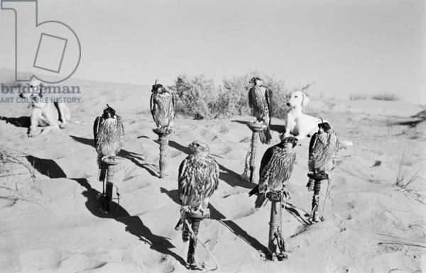 Portrait of six trained falcons and two salukis belonging to Sheikh Zayed bin Sultan Al Nahyan's hunting party resting in the sands surrounding Al Ain, United Arab Emirates, December 1, 1949 – January 12, 1950 (b/w photo)